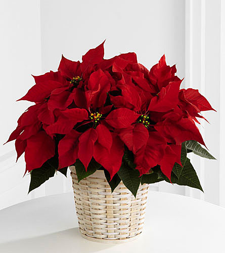 Poinsettias/Plants