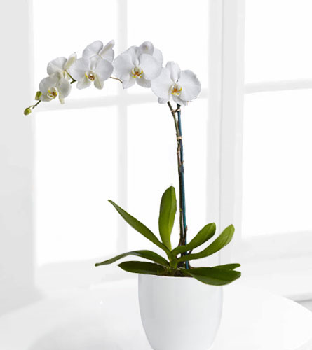 FTD's White Orchid Plant